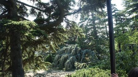 Ялта. Плакучая ель в Никитском ботаническом саду