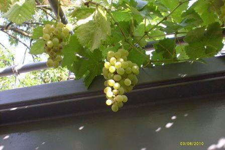 Анапа, виноград