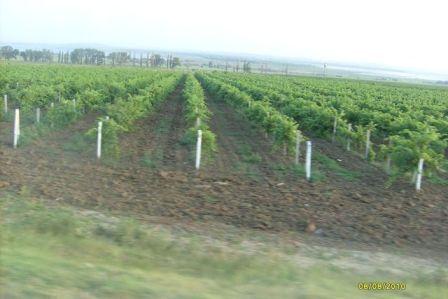 Анапа, виноградники